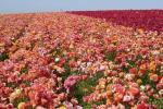 Carlsbad Ranch Ranunculus Field